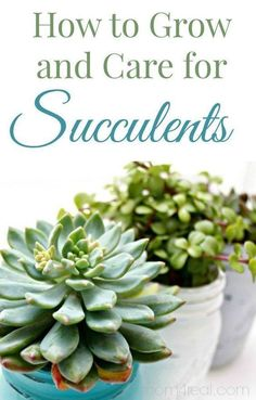 Whether you've been gifted a jade plant or you picked up a echeveria at the store, it's important to learn how to care for succulents. Read on to find out how to keep your plants healthy and happy. Crassula Succulent, Sempervivum, Succulent Gardening, Succulent Care, Cacti And Succulents, Planting Succulents, Container Gardening, Gardening Tips, Planting Flowers