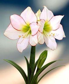 Houseplants That Filter the Air We Breathe Amaryllis 'Picotee' Flower Bulbs From Spalding Bulb Bulb Flowers, Flowers Nature, All Plants, Indoor Plants, White Flowers, Beautiful Flowers, Amaryllis Bulbs, Amarillis, Gras
