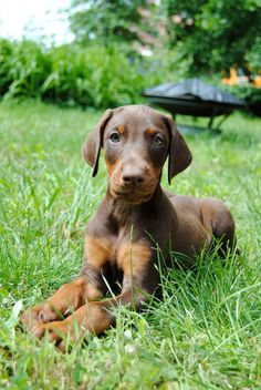 Red Doberman Puppy, Copper. Our next pup will be one of these!! Ah memories!