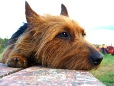This is one of my dogs facial expressions for sure.      Google Image Result for http://www.whistlingwolf.net/wp-content/uploads/2010/11/Australian-Terrier.jpg