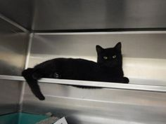 ADOPTED!!! Meet Bubba, a Petfinder adoptable Domestic Short Hair Cat   Pikeville, KY   Thank you for taking the time to view a pet from the Pike County Animal Shelter!  If you are...