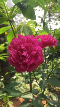 #indianroses #keralaroseflower Beautiful Rose Flowers, Beautiful Flowers Wallpapers, Flowers Nature, Beautiful Butterflies, Amazing Flowers, Spring Flowers, White Flowers, Flower Garden Pictures, Good Morning Flowers
