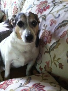 I Love my old Jack Russell Dusty
