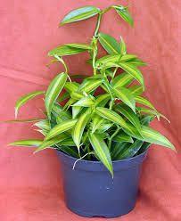 Image result for variegated hanging plant Vanilla Bean Orchid leaf