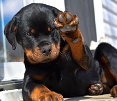 """Acquire great suggestions on """"Rottweiler dogs"""". They are available for you on our site. Bulldog Breeds, Pet Dogs, Pets, Chihuahua Dogs, Doggies, Rottweiler Puppies, Rottweiler Names, West Highland Terrier, Dog Names"""