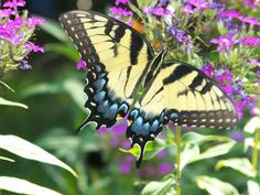 One of my favorite garden guests is the butterfly. Read this article to take a look at plants that attract butterflies so that you can welcome these flying beauties into your garden too.