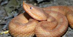 Porthidium lansbergii, Riohacha (La Guajira). Amphibians, Reptiles, Pit Viper, Python Snake, Circle Of Life, Snakes, Beautiful Creatures, Viper, Cycle Of Life