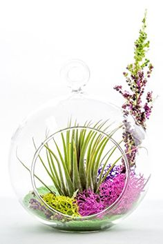 Air Plant Terrarium Kit  Natural Accents Series  Green Sand  Tricolor Moss  Pink Purple Lime Green  Purple Flowers  Complete Tillandsia Gift Set  4 Glass Globe  Nautical Crush Trading TM * Check out this great product.