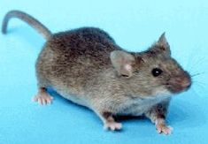 The common household mouse - there are many species depending on where you live, but they're all the same when they get into your Corvette.