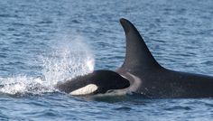 Ex-Trainer Says SeaWorld Is The Reason Orcas Face Extinction