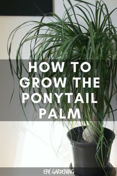 Indoor Gardening How to grow the beautiful ponytail palm indoors, no matter how green your thumb is! - Ponytail palm care is surprisingly easy for a palm. Learn exactly how to grow beautiful beaucarnea recurvata in your home with this in-depth guide. Ponytail Plant, Ponytail Palm Care, Palm Trees Garden, Garden Plants, House Plants, Palm Trees Landscaping, Backyard Trees, Bamboo Plants, Indoor Trees