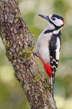 Photo Great spotted woodpecker at work by Roger Pujol on 500px