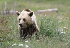 Bärin Amelia im Arosa BÄRENLAND Brown Bear, Amelia, Animals, Arosa, Baby Cubs, Trench, Vet Office, Animal Welfare, Animales