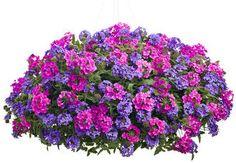 Spiller Superbena® Pink Shades Verbena hybrid Qty:1 Spiller Superbena® Royale Chambray Verbena hybrid Qty:2