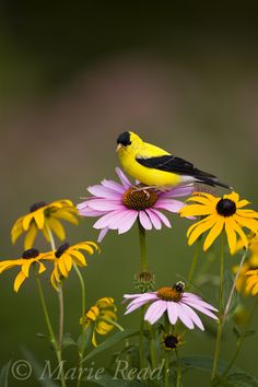 ...American Goldfinch