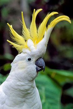 sulphur-crested cockatoo (Cacatua galerita) https://www.facebook.com/BirdsWorld.0fficial/photos/a.872858989527181.1073741828.872854769527603/1344326482380427/?type=3&theater