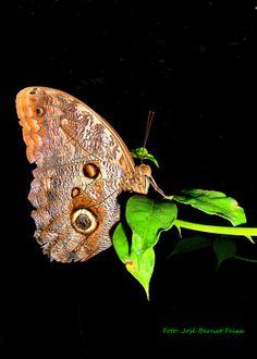 Vlinder, Emmen