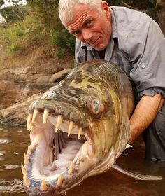 "MISLABELED: Pinned as a ""Mega Piranha"" this is a Goliath Tigerfish (Family: Alestidae). Although they share an Order (Characiformes) they are not even in the same Family as the piranha (Family: Characidae). Although some believe all Characiformes are Monophyleptic in relation and come from the same ancestor."