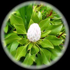 Proteas leaf | Protea cynaroides - King Protea