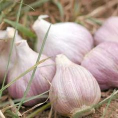 How to grow garlic.