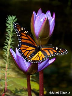 Butterfly And Water Lilies | Flickr - Photo Sharing!