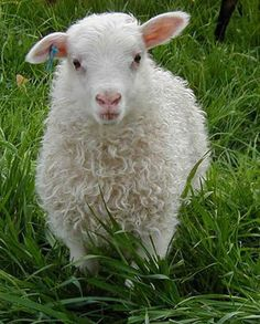 "[Icelandic Ewe Lamb] ------------------- ""MISTAKES BE DE PORTALS OF DISCOVERY."""