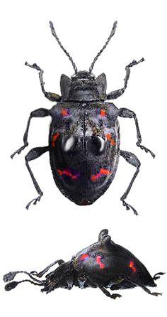 Amphisternus vomeratus (Gorham, 1901) F Endomychidae