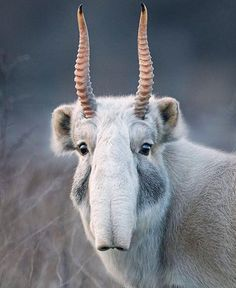 The saiga antelope is one of the world's most ancient living mammals, having shared the Earth with saber-toothed tigers and woolly mammoths, years ago. The antelope is now critically endangered due to poaching for it's horn, which is prized in Chin Unusual Animals, Rare Animals, Animals Beautiful, Funny Animals, Extinct Animals, Animals Sea, Cutest Animals, Animals In The Wild, Cute Wild Animals