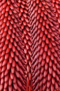 Aloe excelsa flowers