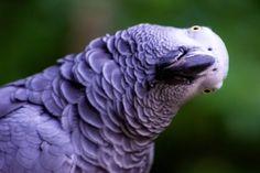 Graupapagei im Vogelpark Marlow