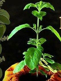 Tulasi Plant, Plant Leaves, Deco, Plants, Decor, Deko, Plant, Decorating, Decoration