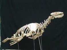 Allodesmus kelloggi mounted skeleton for sale at www.SkeletonsAndSkullsSuperstore.com. These skulls and skeletons replicas are ideal for educators, veterinarians and students.