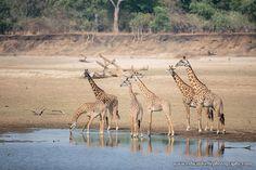 Rothschild's giraffes (Giraffa camelopardalis rothschildi) at Zikomo Safari Camp in South Luangwa National Park, Zambia ©Ed Selfe.
