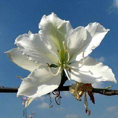 Bauhinia alba - White Orchid Tree