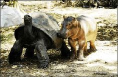 NAIROBI - A baby hippopotamus that survived the tsunami  on the Kenyan coast has formed a strong bond with a giant male century-old tortoise, in an animal facility in the city of Mombassa. A less than a year old hippo has adopted a male  tortoise, about a century old, and the tortoise seems to be very happy with being a 'mother'.