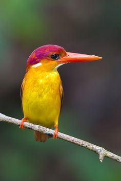 Rufous-Backed Kingfisher (Ceyx rufidorsa) @ Panti Forest | Flickr - Photo Sharing!