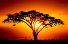 Framed Print – African Israeli Babool Tree at Sunset (Picture Serengeti Plain) Sunset Silhouette, Tree Silhouette, Sunset Pictures, Nature Pictures, Sunset Photography, Landscape Photography, African Tree, Sunset Tattoos, African Sunset