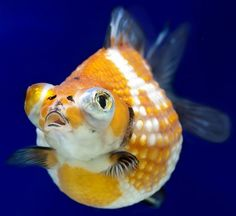 fancy goldfish types - Google Search