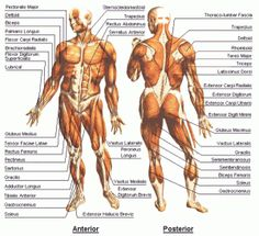 Muscle Chart Of The Human Body 41 Fresh Human Body Muscle Chart Body Pictures For Education. Muscle Chart Of The Human Body Free Diagrams Human Body Human Anatomy Is The Study Of Structure. Muscle Chart Of The Human Body Muscle… Continue Reading → Body Muscle Chart, Muscle Diagram, Muscle Body, Muscle Man, Human Body Muscles, Human Body Anatomy, Muscle Anatomy, Human Body Diagram, Human Muscular System