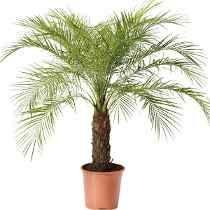 Sementes Palmeira Tamareira De Jardim Phoenix Fenix P/ Vasos