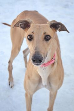 Rose (JT Rose) is an adoptable greyhound searching for a forever family near Chagrin Falls, OH. Use Petfinder to find adoptable pets in your area. Black Lab Puppies, Dogs And Puppies, Corgi Puppies, Doggies, Magyar Agar, Dog Grooming Business, Lurcher, Grey Hound Dog, Italian Greyhound
