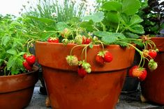 How to Get Strawberry Seeds and Grow It - Gardening Tips Container Plants, Container Gardening, Gardening Tips, Strawberry Seed, Strawberry Plants, 1 Year Baby Food, Strawberries In Containers, Bloom Where You Are Planted, Beautiful Fruits