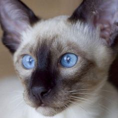 Cute Siamese cat wallpapers 1024x1024 (19)