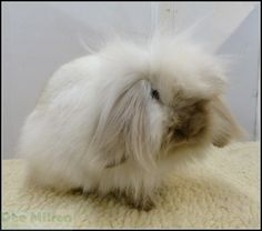 This is a Mini or Minerature  Lion Lop rabbit