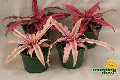 http://www.greenerimageincmd.com/images/plants/bromeliads/cryptanthus.jpg