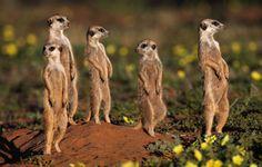 Meerkat, Jacks Camp in the Kalahari Desert, Botswana's Makgadikgadi Salt pans. Safari Animals, Baby Animals, Cute Animals, Underwater Creatures, Big Photo, Little Critter, Tier Fotos, African Safari, Animal Photography