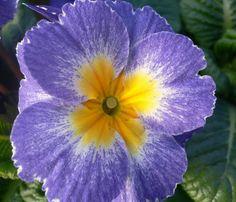 Primrose: Primula [Family: Primulaceae] - Flickr - Photo Sharing!