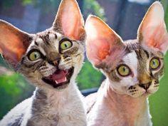 Different Cat Breeds In The World Devon Rex Cat