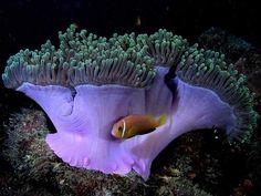 A Vida Nas Águas do Mar Vermelho- peixe-palhaço jovem em seu esconderijo