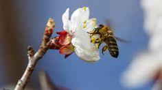 tavasz - Google-keresés Insects, Bee, Plants, Animals, Google, Honey Bees, Animales, Animaux, Bees